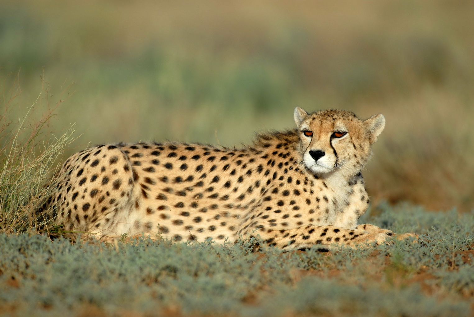 unite-for-the-asiatic-cheetah